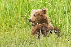 Grizzly Cub chewing on grass. Lake Clark National Park, Alaska. Photo by Annie Cardinal.